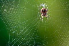 Western Dostrzegał okręgu tkacza pająka - Neoscona oaxacensis obraz royalty free