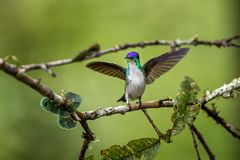 Western emerald sitting on branch with outstretched wings, hummingbird from tropical forest,Colombia,bird perching. Beautiful bird resting on flower in garden stock photo