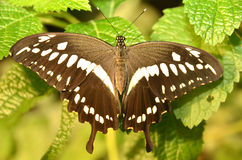 Western Emperor Swallowtail butterfly Stock Image