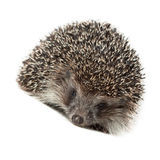 Western European Hedgehog, Erinaceus europaeus Stock Photos