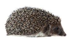 Western European Hedgehog, Erinaceus europaeus Royalty Free Stock Image