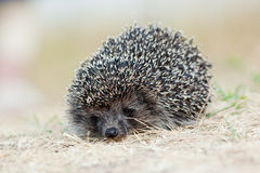 Western European Hedgehog, Erinaceus europaeus Stock Photo