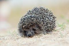 Western European Hedgehog, Erinaceus europaeus Stock Photo