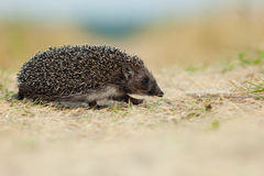 Western European Hedgehog, Erinaceus europaeus Stock Photography
