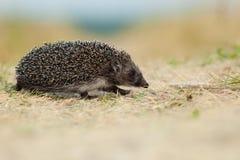 Western European Hedgehog, Erinaceus europaeus Stock Photography