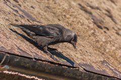 Western Jackdaw on Roof. Western or European Jackdaw Coloeus monedula standing on a roof looking downwards Royalty Free Stock Photo