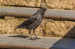 Western Jackdaw on Stone Steps. Western or European Jackdaw Coloeus monedula standing on stone steps Royalty Free Stock Photo