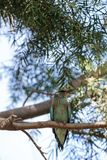 Western European Roller called Coracias garrulous garrulous. Is found in Southern Europe to Central Asia Royalty Free Stock Photo
