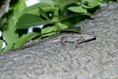 Western fence lizard Stock Photos