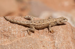 Western Fence Lizard Stock Images