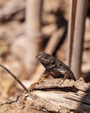 Western fence lizard called Sceloporus occidentalis Stock Image