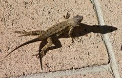 Western fence lizard. A common lizard in southern California Stock Images