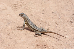 Western Fence Lizard at Laguna Coast Wilderness Park, Laguna Beach, California royalty free stock photo