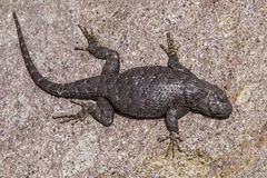 Western Fence Lizard. Large Western Fence Lizard Sunning On Large Granite Boulder In Great Basin Desert Royalty Free Stock Photography