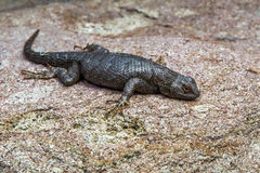 Western Fence Lizard. Large Western Fence Lizard Sunning On Large Granite Boulder In Great Basin Desert Royalty Free Stock Images