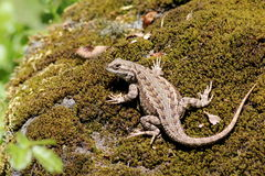 Western Fence Lizard Royalty Free Stock Images