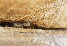 Western Fence Lizard Peaking out from underneath a Boulder Stock Photo