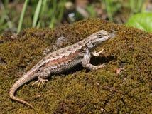 Western Fence Lizard Profile Royalty Free Stock Photo