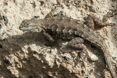 Western Fence Lizard Royalty Free Stock Photo