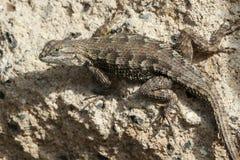 Western Fence Lizard Royalty Free Stock Photo