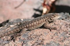 Great Basin Fence Lizard (Sceloporus occidentalis  Stock Image