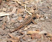 Western Fence Lizard - sceloporus occidentalis Stock Images