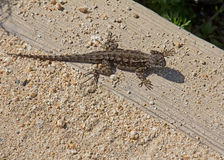 Western Fence Lizard  (Sceloporus occidentalis) Stock Photo