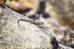 Western fence lizard on a rock. Royalty Free Stock Photo