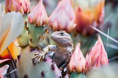 Western fence lizard Sceloporus occidentalis sitting among blooming Prickly Pear Opuntia fragilis cactus flowers ; San. Francisco bay area, California; side stock photography