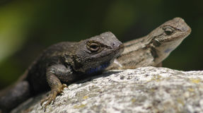 Western fence lizards Stock Images