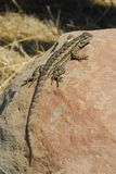 Western Fence Swift Lizard Royalty Free Stock Images