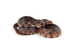 Western Fox Snake. Isolated on a white background Royalty Free Stock Image