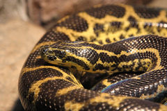 Western foxsnake. Stock Photos
