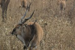 Lord Derby Eland stock photo. Image of mammals, savannah ...