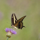 Western Giant Swallowtail on Thistle Royalty Free Stock Images