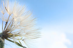 Western Goat's-Beard Royalty Free Stock Photos