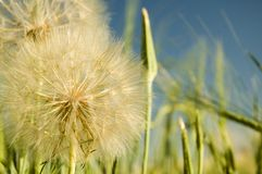 Western Goat's-Beard 4 Royalty Free Stock Photo
