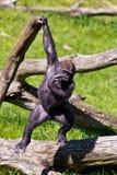 A Western Gorilla. Western Gorilla in Givskud park in Denmark Royalty Free Stock Photo