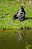 A Western Gorilla. Western Gorilla in Givskud park in Denmark Stock Photo