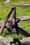 A Western Gorilla. Western Gorilla in Givskud park in Denmark Stock Photos