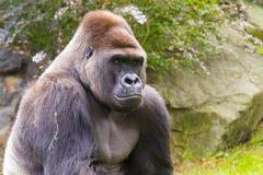 Western Gorilla (Gorilla gorilla). Adult male portrait Stock Photo