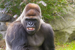 Western Gorilla (Gorilla gorilla) Stock Image