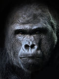 Western gorilla (Gorilla gorilla). Closeup portrait of the endangered male Western gorilla Stock Image