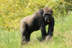 Western gorilla Royalty Free Stock Photography
