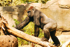 Western Gorilla. A lWestern gorilla climbs up a tree stump Royalty Free Stock Photography