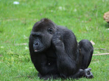 Western gorilla. Resting in grass. Foto taken in burger zoo in Arhnem Royalty Free Stock Images