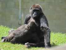 Western gorillas. Western gorilla mother playing with her son. Foto taken in burger zoo in Arhnem Stock Image