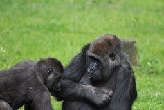 Western gorillas playing. Western gorilla mother playing with her son. Foto taken in burger zoo in Arhnem Royalty Free Stock Photography