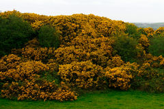 Western gorse, Northern Ireland. Western gorse, common in Ireland in Northern Ireland royalty free stock images