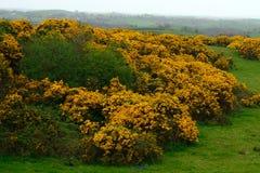 Western gorse, Northern Ireland. Western gorse, common in Ireland in Northern Ireland royalty free stock photography